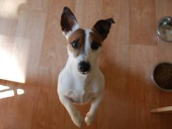 Dumpy, chien Jack Russell Terrier