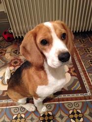 Dune, chien Beagle