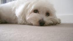 Dune, chien Bichon maltais