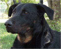 Dune, chien Beauceron