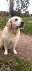 Dune, chien Berger belge