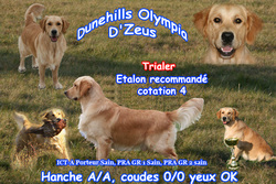 Dunehills Olympia D'Zeus, chien Golden Retriever