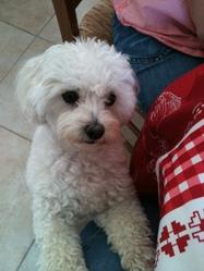 Dunky, chien Bichon maltais