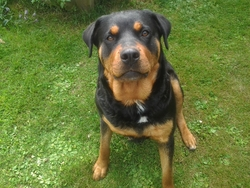 Durka, chien Rottweiler