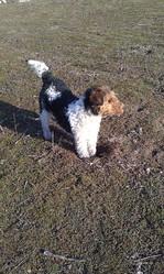 Dustie, chien Fox-Terrier