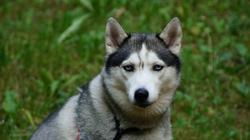 Dusty, chien Husky sibérien