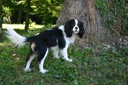 Dustyn, chien Cavalier King Charles Spaniel