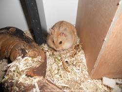 Dwalin, rongeur Hamster