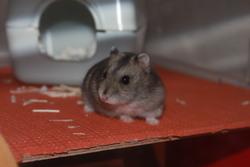 Dwideldy, rongeur Hamster
