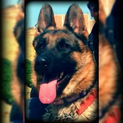 Dyanna, chien Berger allemand