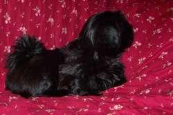 Dydou, chien Cavalier King Charles Spaniel