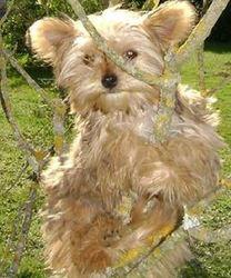 Dydy, chien Yorkshire Terrier