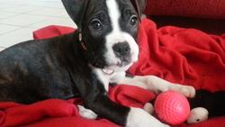 Dyk, chien Boxer