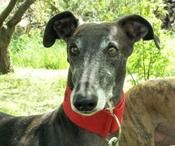 Dylan, chien Lévrier espagnol