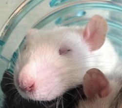 Dylan, rongeur Rat