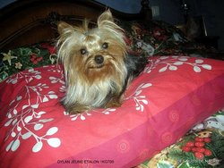 Dylan, chien Yorkshire Terrier