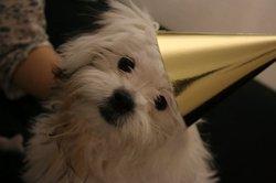 Dyna, chien Shih Tzu