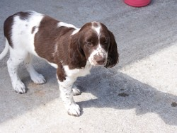 Dyna, chien Épagneul français