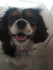 Dyna, chien Cavalier King Charles Spaniel