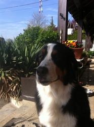 Dyna, chien Bouvier bernois