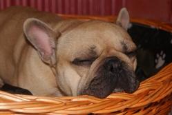 Dyonis, chien Bouledogue français