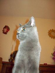 Dypsy, chat Chartreux
