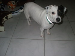 Dypsy, chien Jack Russell Terrier