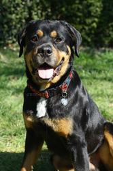 Dyron, chien Rottweiler