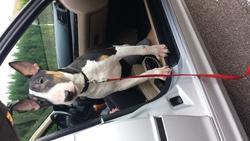 Dyron, chien Bull Terrier