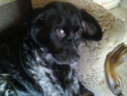 Dyva, chien Épagneul français