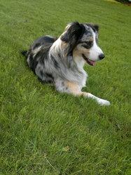 Dzala, chien Berger australien