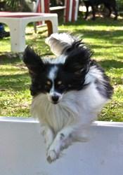 Dzao, chien Épagneul nain continental