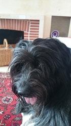 E'Billie Jean Du Royaume De Fanélia, chien Schapendoes néerlandais