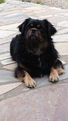 E'Norbu , chien Épagneul tibétain
