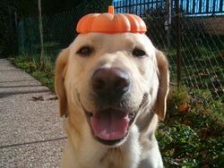 E'Patou, chien Labrador Retriever