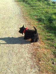 E T, chien Scottish Terrier