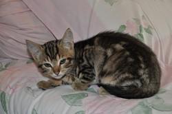 E-Ty, chat Européen
