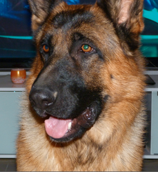 E'Vasco, chien Berger allemand
