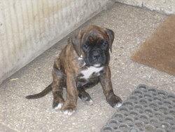 Falco, chien Boxer