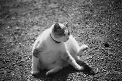 Gaya, chat Siamois