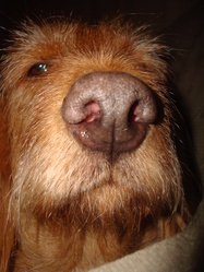 Cassi, chien Basset fauve de Bretagne