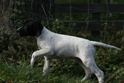 Charly, chien Pointer anglais