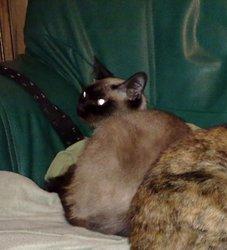Mimissiku, chat Siamois