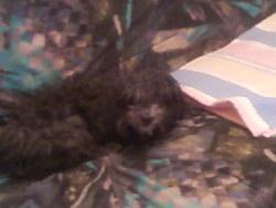 Mousse, chien Caniche