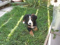 Rozabel, chien Bouvier bernois