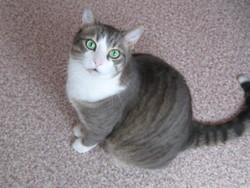 Kikou, chat Européen