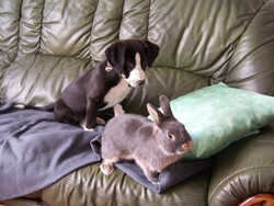 Cindy, rongeur Lapin