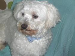 Aramis, chien Bichon maltais