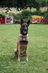 Loco, chien Berger belge