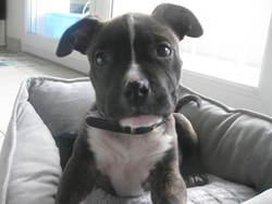 Fiina, chien American Staffordshire Terrier